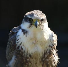 Falke (Falco) (p_jp55 (Jean-Paul)) Tags: bird germany deutschland zoo falcon tierpark allemagne oiseau falconry falknerei saarland falco saarlorlux faucon neunkirchen jardinzoologique fauconnerie