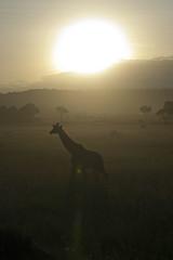 Giraffe in a Masai Mara Sunset (RealMattKane) Tags: africa sunset kenya safari giraffe masaimara eastafrica greatmigration narok