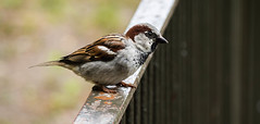 Bird on a rail (whgzi) Tags: bird olympus balticsea tele ostsee zuiko vogel omd 40150mm em5 rostockerzoo