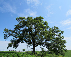 oak tree (quirkyjazz) Tags: oaktree lonetree oldoak thattree plattevillewisconsin