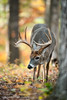 Whitetail Buck Foraging in Autumn (www.matthansenphotography.com) Tags: autumn trees color fall nature animal forest woods feeding wildlife hunting deer antlers rack editorial buck acorns publication biggame whitetaildeer whitetailbuck matthansenphotography