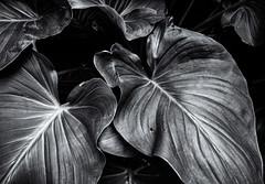 Bergius Botanic Garden, July 21, 2015 (Ulf Bodin) Tags: blackandwhite plant leaves se pattern sweden stockholm indoor sverige bergiusbotanicgarden stockholmslän edvardandersonconservatory canoneosm3