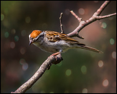 Chipping Sparrow (erhewitt50) Tags: birds sparrow chippingsparrow