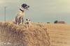 Doggy walks around Widford (@GnBri) Tags: summer england essex hertfordshire stubble ware herts gbr petportraits commercialphotography productphotos naturalbri nrset gnbriphotography gnbri photodotocontest2015 ditsypet royalvetcollege