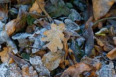 20161207-100824 (Ernst_P.) Tags: 135mm aut blatt botanischergarten frost innsbruck laub österreich pflanze reif samyang tirol walimex winter austria tyrol autriche invierno hielo ice snow nieve