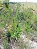 Flor preta (y.naomi) Tags: florpreta blackflower mobilephotography capitólio minasgerais