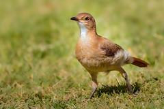 Hornero (Furnarius rufus) (Javier Chiavone) Tags: argentina aves entrerios furnariusrufus