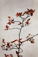 Memories of a Crocollator (Thomas Listl) Tags: thomaslistl romance red plants blur autumn twig