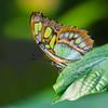 Malachite's colors... (Glenn van Windt) Tags: siproetastelenes lepidopterarhopalocera butterfly vlinder tropicalbutterfly macro closeup insect butterflygarden vlindertuin artiszoo malachitebutterfly malachietvlinder sigma180mm128apomacrodghsm