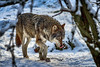 Wolf im Schnee (Roman Achrainer) Tags: wolf tierpark hellabrunn raubtier münchen winter schnee achrainer