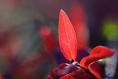 Rouge sang. (jpto_55) Tags: feuille rouge proxi bokeh abélia xe1 fuji fujifilm omlens om50mmf2macro hautegaronne france