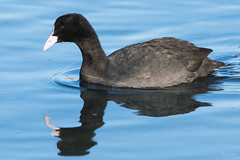 Coot (Shane Jones) Tags: coot bird wader reflection wildlife nature nikon d500 200400vr tc14eii