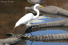 It's not where you take the tail, it's where the tail takes you. (Shannon Rose O'Shea) Tags: shannonroseoshea shannonosheawildlifephotography shannonoshea shannon greategret egret bird beak feathers alligator alligators gator gators alligatorbreedingmarshandwadingbirdrookery gatorland orlando florida animal animals nature wildlife waterfowl flickr wwwflickrcomphotosshannonroseoshea outdoors outdoor water white tails walking canon canoneos80d canon80d eos80d 80d canon100400mm14556lisiiusm