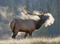 Bull Elk frosty breath in Jasper (Archie Richardson) Tags: elkbull jasper
