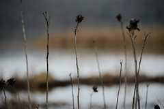 on walnut pond (courtney065) Tags: d800 nature landscapes pondscape river pond wetland flora seedpods serene tranquil tidalwater depthoffield winter winterlight