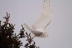 Glamor Girl Take Off (McGill's Nature in Motion) Tags: snowyowl owl raptor predator bird wildlife nature mcgillsnatureinmotion teresamcgill michigan