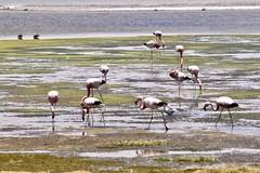 Atacama Desert (leeeelaine) Tags: reservanacionallosflamencos salardetara sanpedrodeatacama chile flamingo flamenco