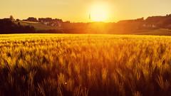Weizenfeld im Spätsommer, Galaxy S5 (florian.glechner) Tags: landschaft landscape sun sunset sonne sonnenuntergang feld weizenfeld weizen rot gelb sommer spätsommer samsung galaxys5