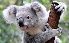 344809.jpg (Vallesty) Tags: bychipvnimageuploader koala mammal marsupial fauna animal zoo lonepinekoalasanctuary australia brisbane grey curious