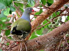 Papegaaiduif / African Green-Pigeon (Bruwer Burger.) Tags: papegaaiduif african greenpigeon coth5