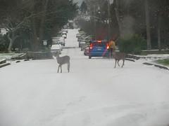 snowy streets_0337R (Michael.C.G) Tags: oakbay snow 2016 deer canada britishcolumbia