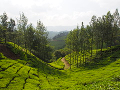 Beautiful tea plantation, South India (malithewildcat) Tags: southindia india kerala tamilnadu tea plantation trek teaplantationtrek