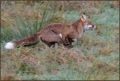 Red Fox (Full Moon Images) Tags: woodwalton fen greatfen bcn wildlife trust nnr national nature reserve cambridgeshire animal mammal red fox running