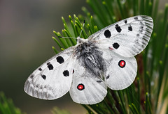 Parnassius apollo (Charaxes14) Tags: parnassius apollo smolikas greece papilionidae papilionid lepidoptera butterfly kelebek insect arthropoda arthropod lighting shadow nature macro closeup summer cloudy white red outdoors pinus perfect wings black wow