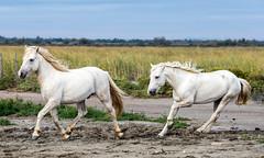 2016 Two Camargue Stallions (30) (maskirovka77) Tags: saintlaurentdaigouze languedocroussillonmidipyrén france languedocroussillonmidipyrénées fr stallion stallions whitehorse whitehorses whitestallion whitestallions createaway photoworkshop