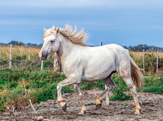 2016 Two Camargue Stallions (21) (maskirovka77) Tags: saintlaurentdaigouze languedocroussillonmidipyrén france languedocroussillonmidipyrénées fr stallion stallions whitehorse whitehorses whitestallion whitestallions createaway photoworkshop