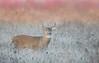 White-tailed deer (missymandel) Tags: whitetaileddeer youngbuck ontariowildlife deer missymandel