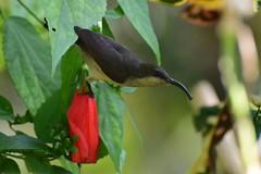 Loten's Sunbird (sreejithkallethu) Tags: lotenssunbird birdsofkerala nature naturephotography neeravil kollam kerala