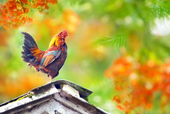 Happy Lunar New Year of the ROOSTER 2017 (Fu-yi) Tags: taiwan 鳥類 雞 historicalfootprints buildings old derelict lostplace taipei bird side fauna animal boy nature 自然 formosan 台灣 雄 新北市 家養動物 domesticanimals longtailed spring 春天 avian 禽 halo aura bokeh light tree house botanical plant garden nopeople songbird hoot isolated lonely single standing farm beautiful red flower cock