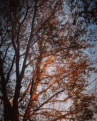 Sunset on the Ash Tree A great of example of capturing a picture when you see it. I glanced out the window and spotted the last rays of the sunset hitting the ash tree in the backyard. I took about 10 shots and the the light was gone. You've got to grab i (dewelch) Tags: ifttt instagram sunset ash tree a great example capturing picture when you see it i glanced out window spotted last rays hitting backyard took about 10 shots light was gone youve got grab or its sunlight nature outdoors sundown garden ignaturelovers ignaturepictures ignaturesbest iggarden flowersofinstagram flowerstagram treestagram rainbowpetals la losangeles iglosangeles whereamila instalosangeles caligrammers lagrammers losangelesgrammers discoverla conquerla unlimitedlosangeles californiacaptures uglagrammers 24earth