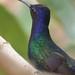 Beija-flor Tesoura (Eupetomena macroura) - Swallow-tailed Hummingbird IMG_8018 - 7