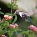 Beija-flor - Hummingbird 2 654 - 2