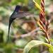 Beija-flor Tesoura (Eupetomena macroura) - Swallow-tailed Hummingbird 008 - 6