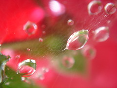 Rain drops in the spider web (marlenells) Tags: rain drops spiderweb rose macro dof red crg topc25 topv111 lovely1 perfect bravo i500 wonderful wonder closeup ilovenature wow amazing freeassociation topc50 topv333 awesome topf25 topv555 2550fav misc topc75 scoreme40 topv777 loveit 5hits topf50 1000v 50100fav topc100 topv1111 1on1naturephotooftheday babel quality outstandingshots p1f1 topc125 instantfave flickrplatinum topf75 naturesfinestalphabet maringá