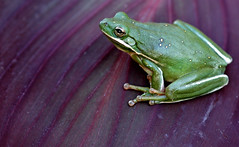 Color & Texture (Jeff Clow) Tags: macro ilovenature bravo amphibian frog explore canna payitforward sigma105mm jeffclow 1000v40f nikonstunninggallery animalkingdomelite