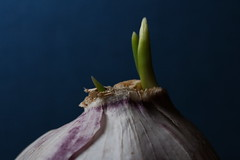 sprouting garlic (notpushkin) Tags: macromondays itsalive garlic knoblauch
