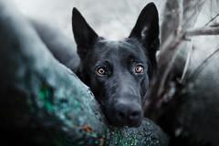 Amber and emerald (DigitalBite) Tags: dog dogphotography winter emerald ambereyes gsd blackgsd blackgermanshepherddog germanshepherddog sigmaart 35mm f14