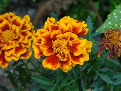 marigolds marigold garden summer