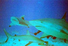 Dive Safaris shark dive St. Martin (nukeroth) Tags: danger shark dive carribean scuba stmartin jaws stmaarten picnik