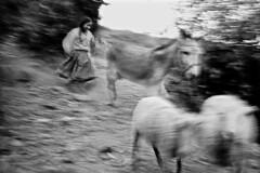 bol sorata bergre courant  derrire ses moutons 2 (Ludovic Maillard) Tags: bolivia bolivie blur flou blackandwhite noiretblanc film portrait animal