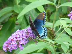"""Red Spotted Purple Butterfly (Claire DeLand ~ """"GA Music Maker"""") Tags: butterfly wings flight butterflies nectar favorited limenitisarthemis redspottedpurple adairsvillega"""