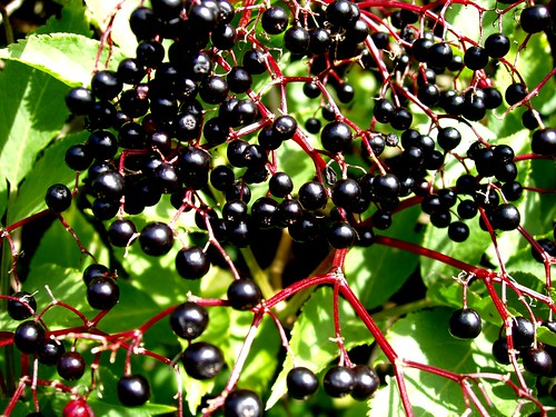 Elderberries © Auntie P