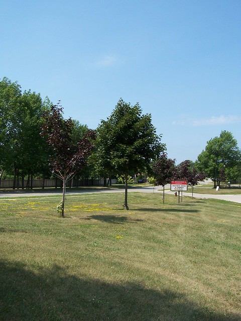 The tree in the center was planted when I was in grade seven