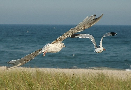 American Herring Gulls in flight by Alida's Photos