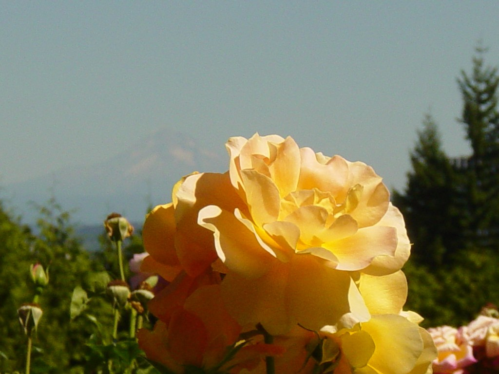 Yellow Rose with Mount Hood behind it