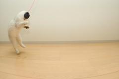 DSC_5571 (junku) Tags: cats japan cat fun jump jumping nikon kitten d70 kitties 猫 hime ねこ ネコ sigma15mmf28exfisheye airbornecat airbornecats そらとぶねこ